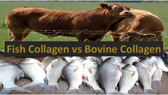 bovine and fish collagen