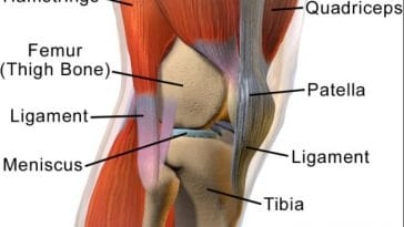 Difference between Tendon and Ligament