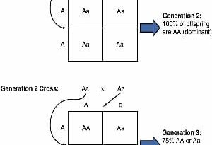 genotype and phenotype