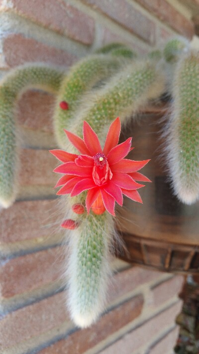 What are epiphytic cactus