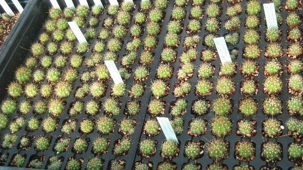 Cactus seedlings