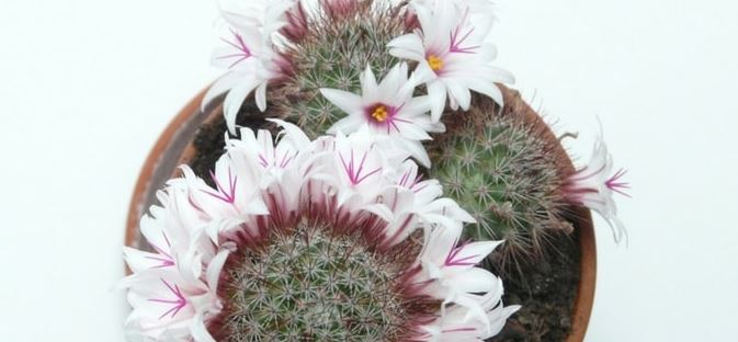 MAMMILLARIA FRAILEANA, THE CACTUS WITH PINK FLOWERS
