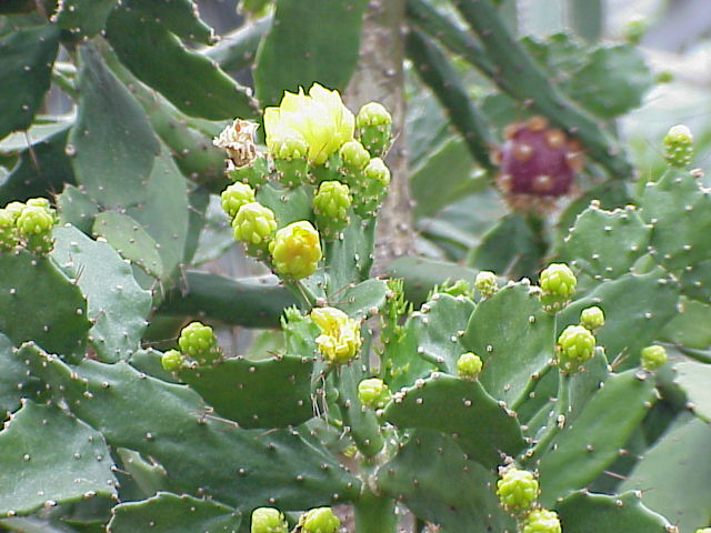 Opuntia brasiliensis with yellow flower flowers