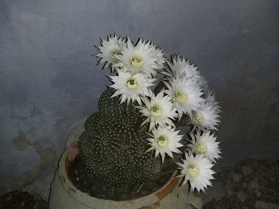 cactus with white flower