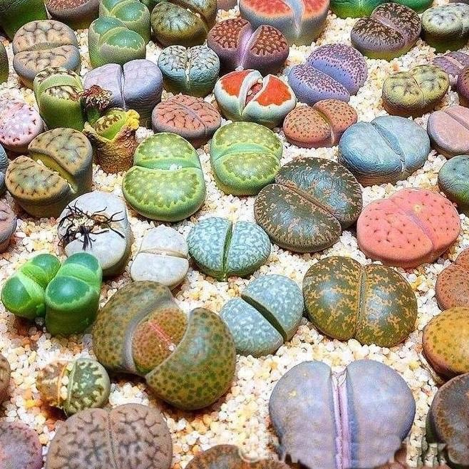Lithops or Cactus stone