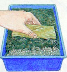 Step 3 planting MAMMILLARIA by seed