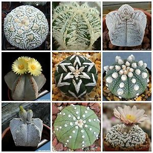 Genus Astrophytum – growing and care