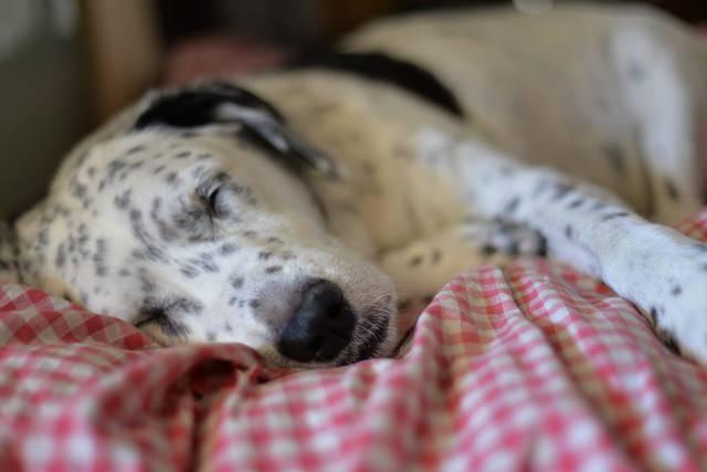 Melatonin For Dogs Benefits Usage Dosage Lorecentral