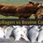bovine and fish collagen