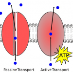 active and passive transport in cells