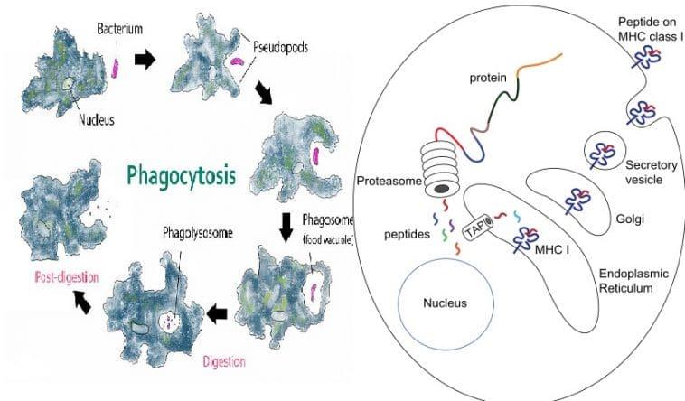 intracellular digestion vs extracellular digestion