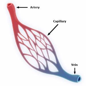 vein arteries and capillaries