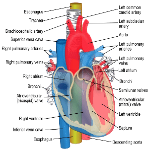 Heart parts selol ink heart parts ccuart Image collections