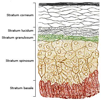 layer of epidermis