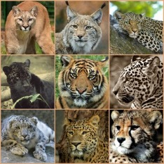 difference between leopard, cheetah and jaguar - lorecentral