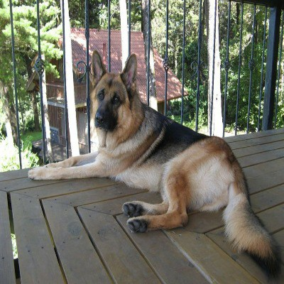Can German Shepherd Live In Apartment