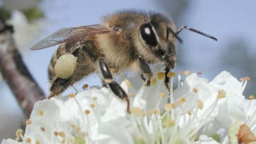 Bees promote xenogamy, a type of cross-pollination that increases genetic variability