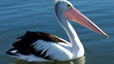pelican fishing