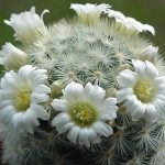 Mammillaria carmenae with white flowers