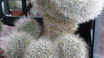 Mammillaria bocasana splendens cristata.