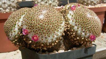 Mammillaria crucigera.