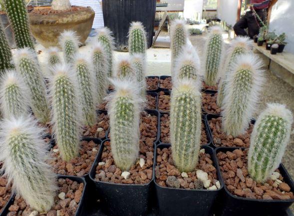 Espostoa Lanata transplanted into pots