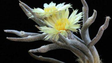 Astrophytum caput-medusae with flowerr