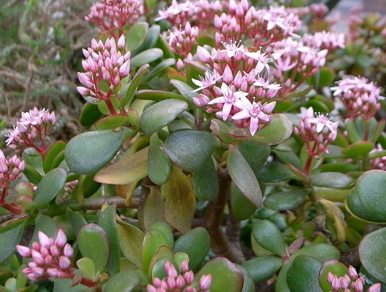 Crassula Ovata also known as jade plant with pink flowers