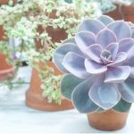 Echeveria purple color