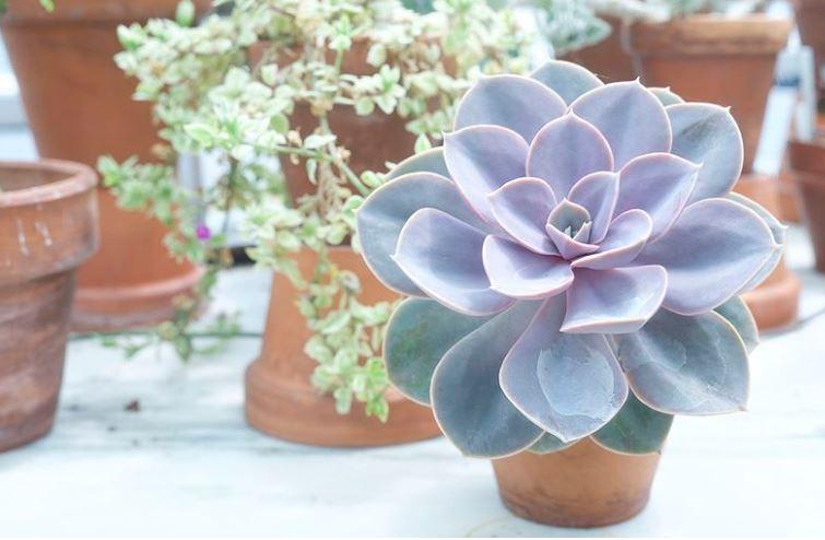 Echeveria purple color