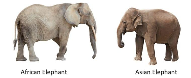 differences between African and Asian elephants