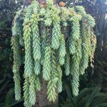 a hanging succulent
