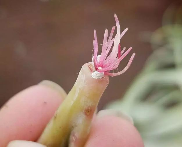 COTTONY COCHINEAL ON SUCCULENT ROOT