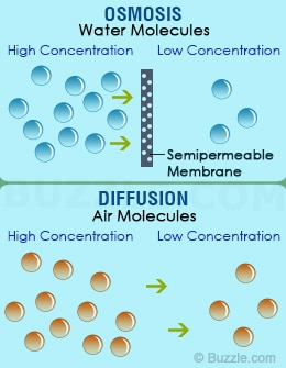 15 examples of diffusion and osmosis lorecentral