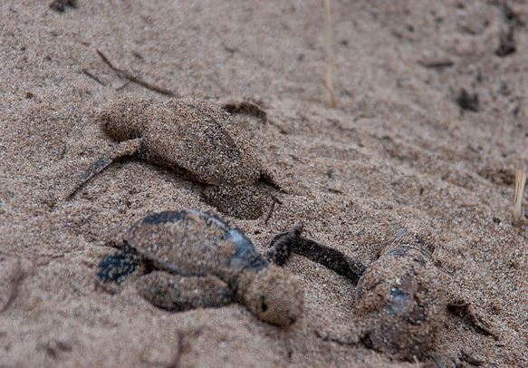 Baby turtles use the sand to hide from predators  and the move to the sea