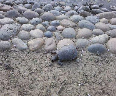 turtle camouflage among the rocks