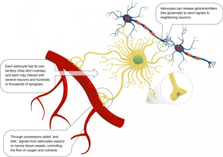 Astrocyte function