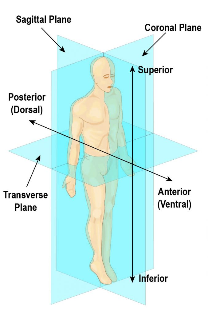 Anatomical planes of the human body