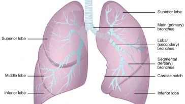 Parts of the human lungs